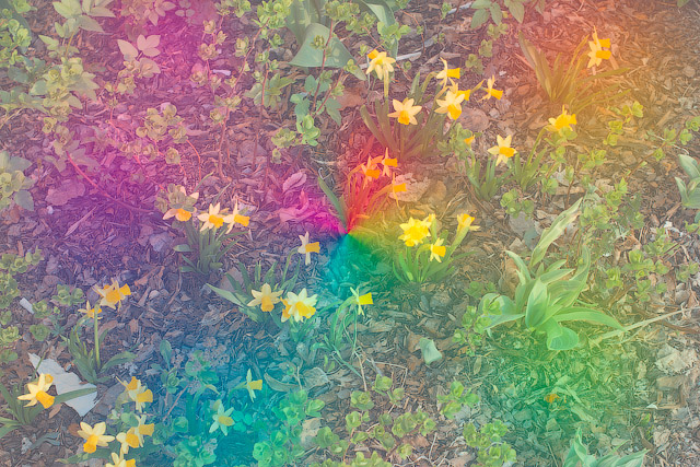 Andrey Bogush, Daffodils, from the Rainbow series (2010). Courtesy the artist.