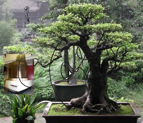 bonsai tree beautiful